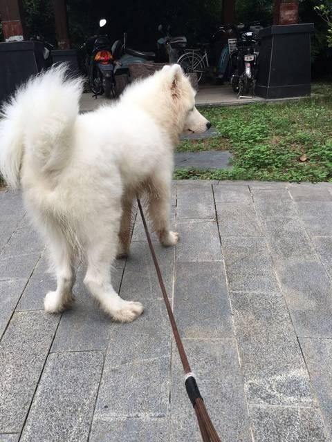 有没有狗狗后腿走路外八字的?_我刚领养的萨